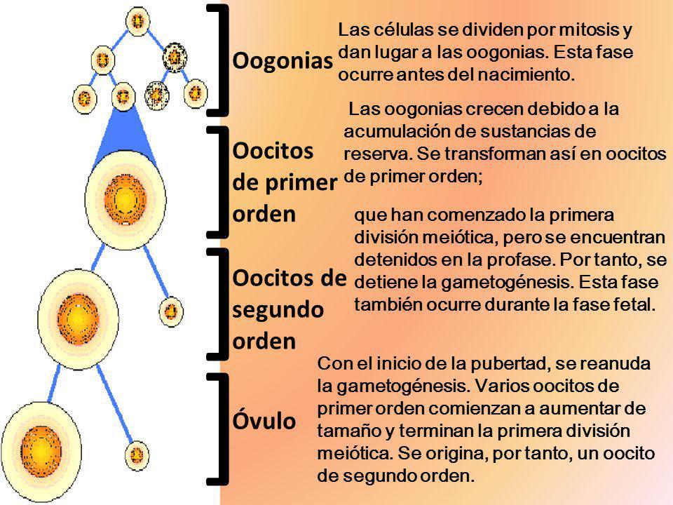 ] ] ] ] Oogonias Oocitos de primer orden Oocitos de segundo orden